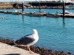olhao-seagull