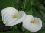 Cala lilies Espacio Antares