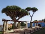 Drago trees La Orotava