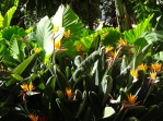 Estrelitzia - Birds of Paradise