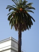 A date palm La Orotava