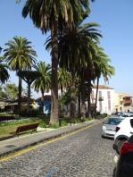 Palms in La Orotava