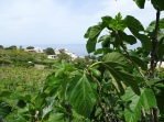 Figs + Pollara