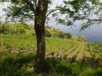 Malvasia vineyards
