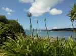 Agapanthus by the sea