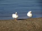 Lagada beach geese