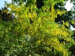 Laburnum trees in flower