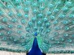 Peacock splendour!