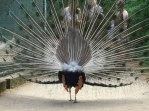 Rear view of a peacock