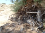 Tamarisk roots in the sand