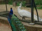 Blue & white peacocks