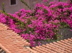 Bougainvillea rooves
