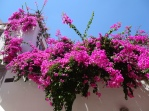 Bougainvillea wall