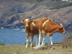 Guernsey cows on Sark