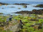 lihou seaweed