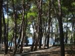 Giant pines